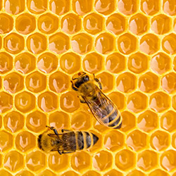 Honey bee on honeycomb - Honey - Wax - Analysis - Quality - EC Honey Directive - botanical origin
